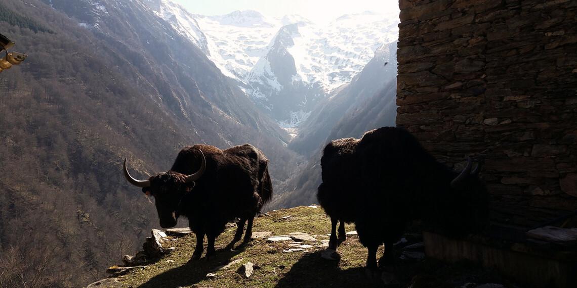 Des yacks et de l'oxygène à pleins poumons