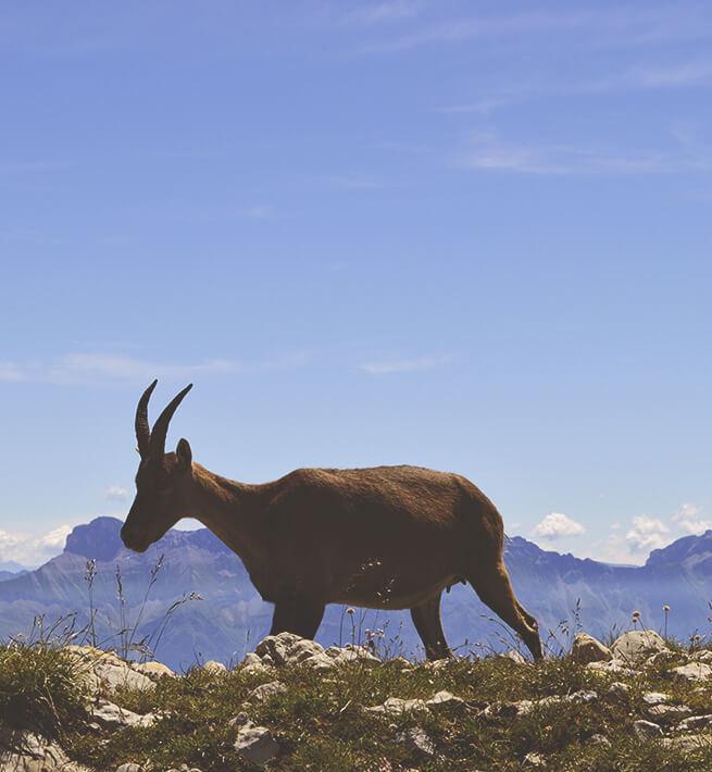 Animal sur la montagne déconnectée