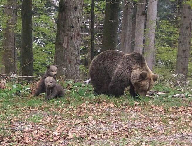 Ours et oursons dans la forêt dé