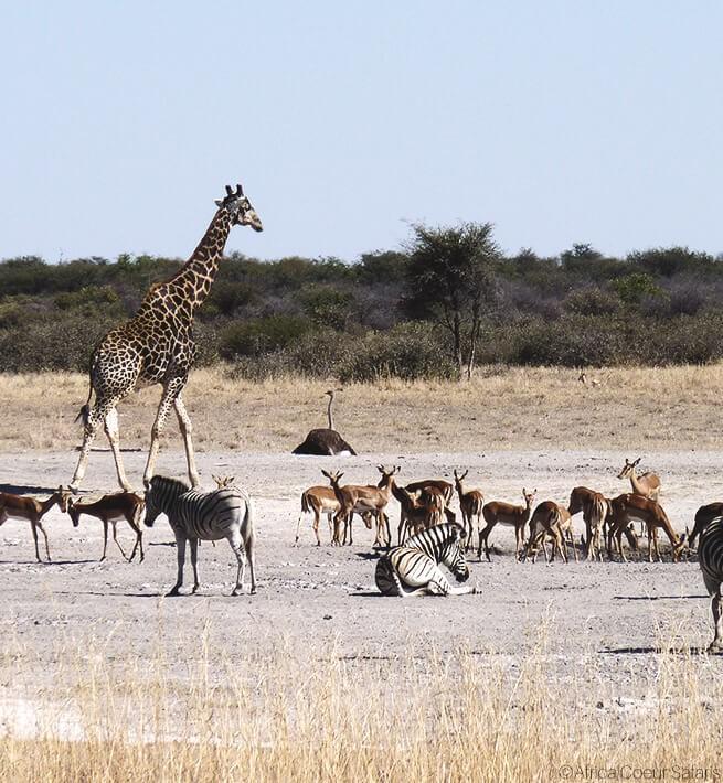 Girafe, zèbres, gazelles, safari
