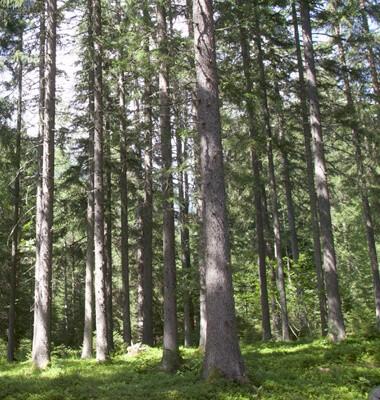 Bain de nature, bain de forêt à Chamonix